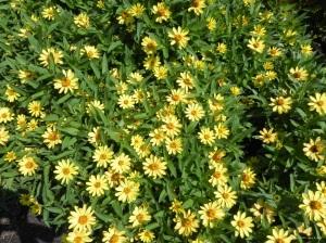 mkd.yellow daisies